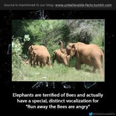 elephant language
